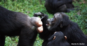 Female Chimpanzee Sexual Swelling Kanyawara