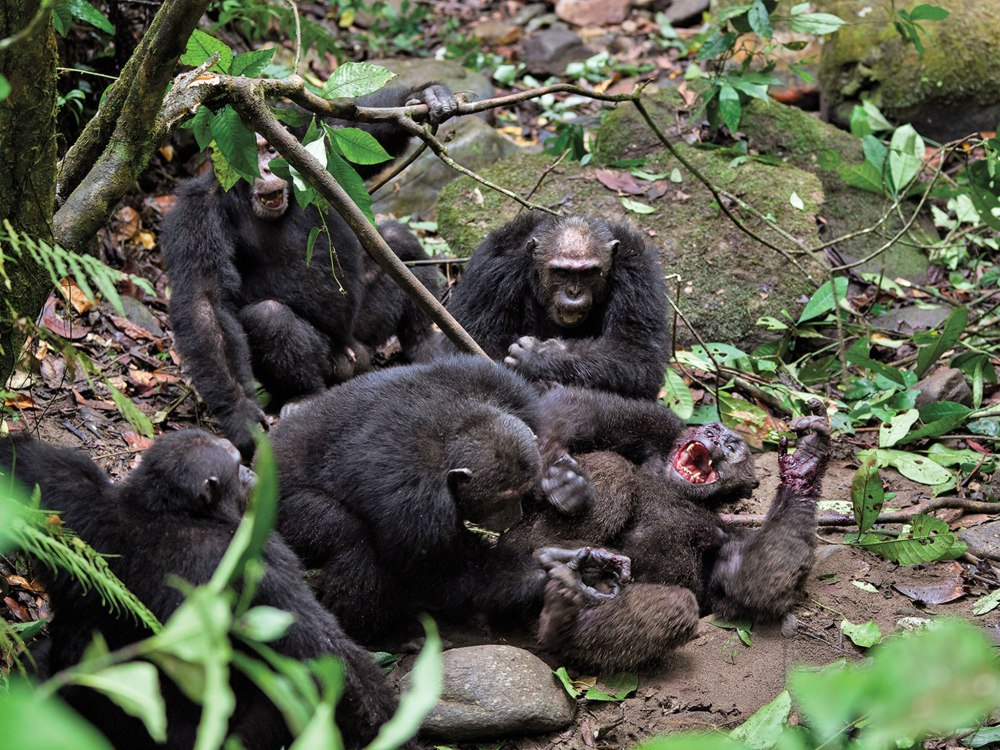 Pimu Alpha Male Chimpanzee killed by fellow chimps Mahala Park Tanzania 2011