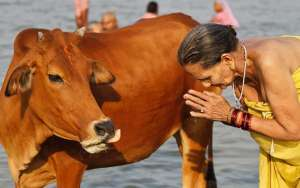 Sacred Cow India